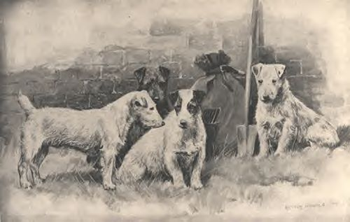 A pre 1900 painting of terriers, the black one is an Elterwater Terrier which is a breed that was first used into creating the shortleg type of Jack Russell in Cumbria, the 3 JRT types at the front are very old style Jacks that still carry the slightly broken coat from the old Elterwater blood..